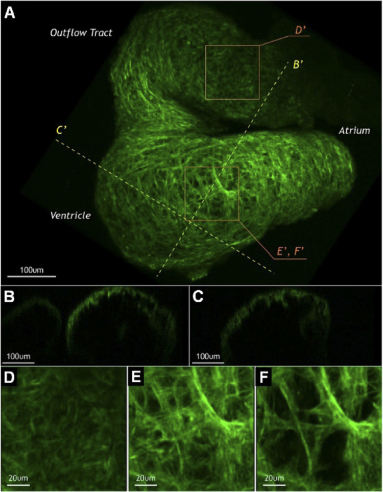 Label-free optical imaging in developmental biology [Invited].