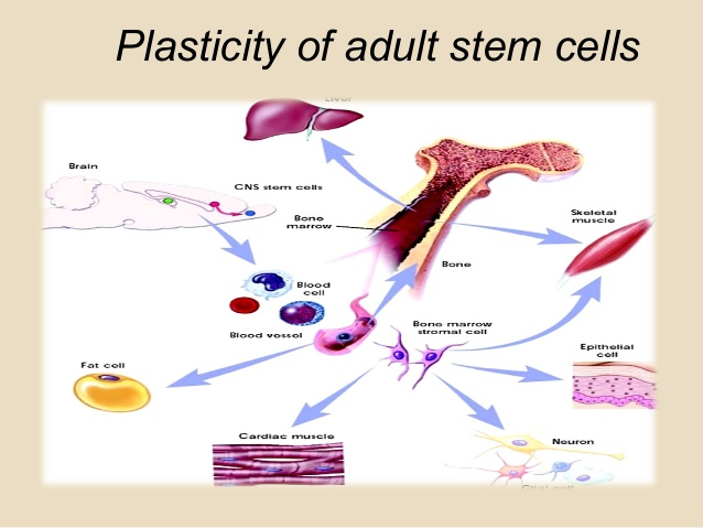 https://stemcellcharter.org/wp-content/uploads/2020/05/hematopoietic-stem-cell-plasticity-1.jpg