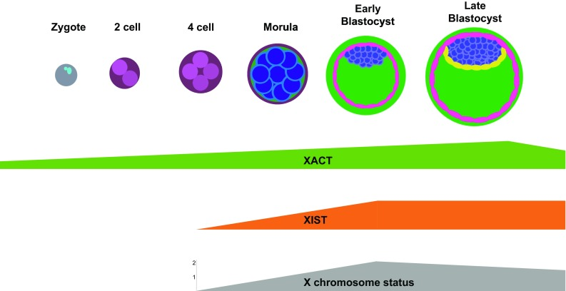 New Advances in Human X chromosome status from a Developmental and Stem Cell Biology.