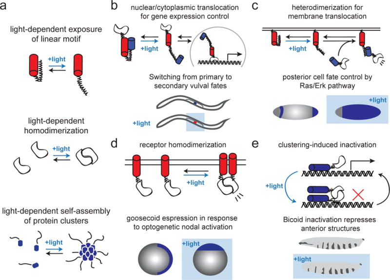Illuminating developmental biology with cellular optogenetics.